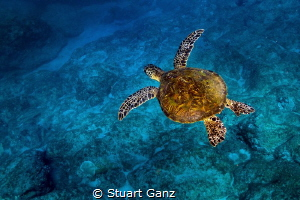 Little Green sea turtle enjoying a morning swin in the bl... by Stuart Ganz